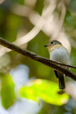 Red throated flycatcher. Single bird is sitting on the branch tree Royalty Free Stock Images
