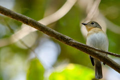 Red throated flycatcher. Single bird is sitting on the branch tree Royalty Free Stock Image