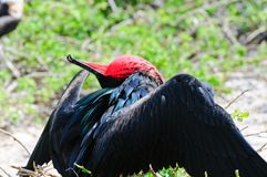Red throated frigate birds Stock Photos