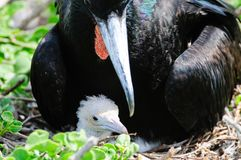 Red throated frigate birds Royalty Free Stock Photo