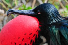 Red throated frigate birds Stock Photo