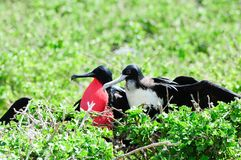 Red throated frigate birds Royalty Free Stock Image