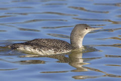 Red-throated Loon. In winter plumage swimming in the Potomac River in Washington D.C Royalty Free Stock Image