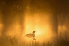 Red throated Loon in dawn Royalty Free Stock Photography