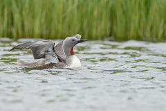 The red-throated loon Royalty Free Stock Image