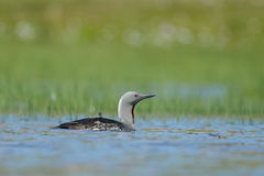 The red-throated loon Royalty Free Stock Photos