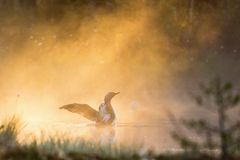 Red throated Loon in fog Stock Image