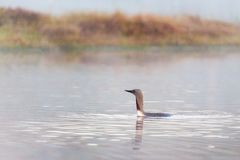 Red throated loon Stock Photo