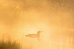 Red throated Loon in morning light Stock Images