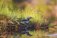 Red throated Loon nesting Royalty Free Stock Image