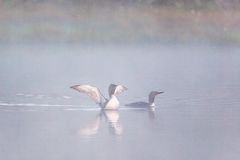 Red throated loon Royalty Free Stock Photography