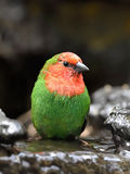 Red-throated parrotfinch (Erythrura psittacea) Royalty Free Stock Images