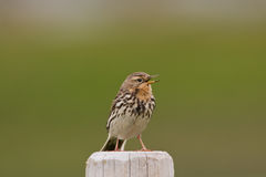 Red-throated pipit (Anthus cervinus) close-up Stock Photo