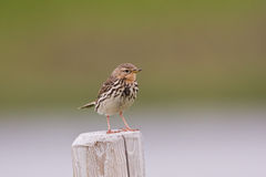 Red-throated pipit (Anthus cervinus) close-up Stock Image