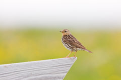Red-throated pipit (Anthus cervinus) close-up Stock Photography