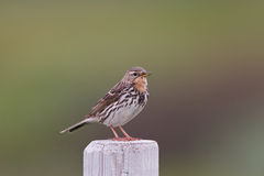 Red-throated pipit (Anthus cervinus) close-up Royalty Free Stock Photos