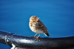 Red-throated pipit Royalty Free Stock Photos