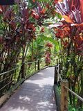 Red Ti Plant Canopy Over the Forest Bridge. Big Island, Papikou, Hawaii Royalty Free Stock Photography