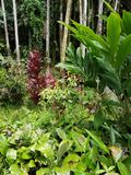 Red Ti Plant and Leafy Green Plants. Big Island, Papikou, Hawaii Stock Photos