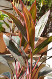 Red Ti Plant Six. Close-up shot of brightly colored Hawaiian Red Ti Plant Stock Images