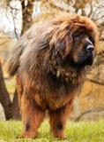 Red tibetan mastiff dog autumn garden royalty free stock photos