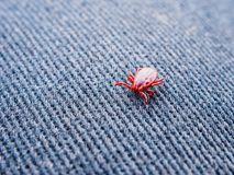 Red tick spring creeps on denim. Closeup of a parasite stock photo