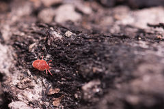 Red tick on a tree Royalty Free Stock Image