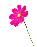 Red Tickseed on White background. Isolated Red Cosmos on White Background Royalty Free Stock Images