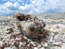 Red Tide Sanibel Island Florida. Dead fish along the shell covered beaches in Southwest Florida stock images