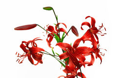 Red tiger lily Royalty Free Stock Photo