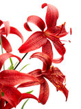 Red tiger lily. Isolated on white background Stock Images