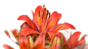 Red tiger lily Bouquet Outdoors isolated Stock Image