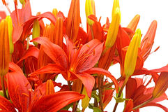 Red tiger lily Royalty Free Stock Photography
