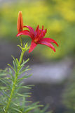 Red tiger lily Stock Image