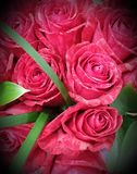 Red Tiger Stripe Roses. Intuition roses.bright red with tiger stripes perfect for Valentine& x27;s day,weddings ,proposals or when you just love roses Stock Images