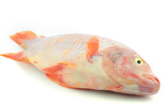 Red Tilapia Royalty Free Stock Image