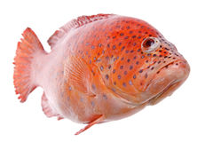 Red Tilapia Fish Isolated. Isolated macro image of a red tilapia (cichlid) fish royalty free stock photos
