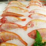 Red tilapia fishes Stock Photos