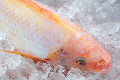 Red tilapia on Ice. Royalty Free Stock Photo