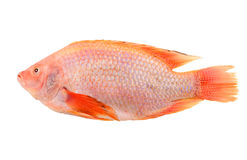 Red tilapia isolated Royalty Free Stock Photography