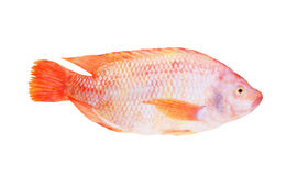 Red tilapia isolated Stock Image