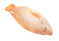 Red tilapia isolated Royalty Free Stock Image