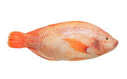 Red tilapia isolated Royalty Free Stock Photo