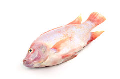 Red tilapia isolated on white background Stock Photography
