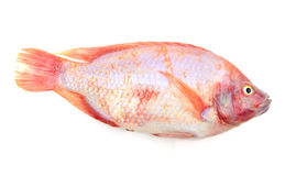 Red tilapia isolated on white background Stock Photo