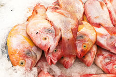 Red tilapia snapper fish on ice for sale in market. Aquaculture farm fresh red tilapia snapper fish chilled on ice for sale in market Royalty Free Stock Image