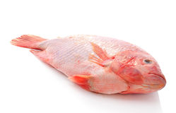 Red tilapia Stock Images