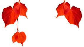 Red tilia leaves isolated on white background Royalty Free Stock Photography
