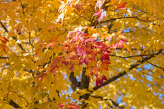 Red Tinged Maple Leaves in the Fall Royalty Free Stock Image