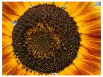 Red tint sunflower. Red tint yellow sunflower center with protruding petals Royalty Free Stock Photo
